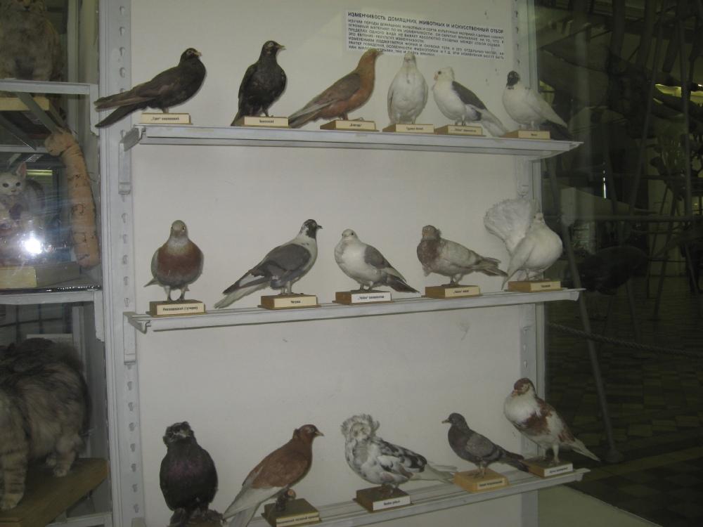 Коллекция голубей