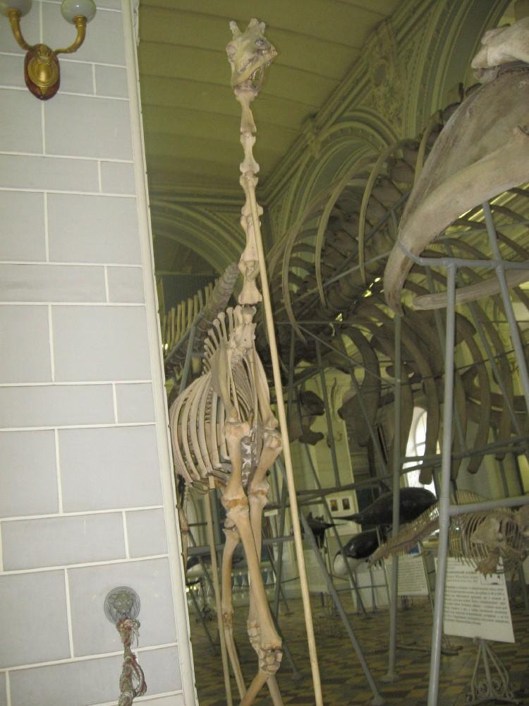 Скелет жирафа